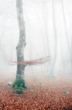 Beech forest in autumn with mist Stock Image