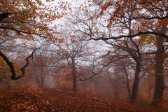 Beech forest in autumn mist. Royalty Free Stock Photo
