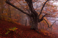 Beech forest in autumn mist. Stock Photo