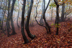 Beech forest in autumn mist. Royalty Free Stock Images
