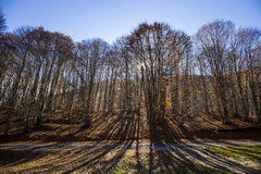 Beech forest in autumn Stock Photography