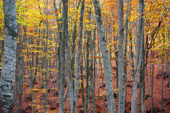 Beech forest in autumn Royalty Free Stock Images