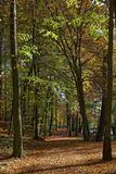 Beech forest in autumn, Teutoburg forest, Lower Saxony, Germany, Royalty Free Stock Image