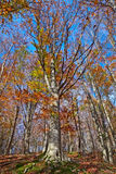 A beech forest in autumn Stock Photos