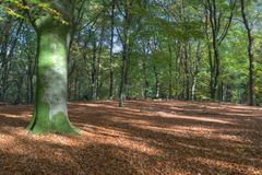 Beech forest in autumn on the Veluwe Royalty Free Stock Photography