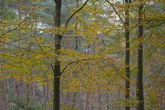 Beech forest in autumn on the Veluwe Stock Image