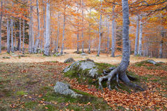 Beech forest in autumn, Vielha, Spain Stock Images