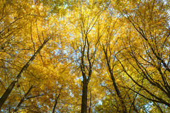 Beech forest in autumn. Royalty Free Stock Images
