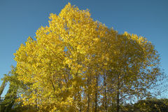Beech forest in autumn with warm tone. Spain Royalty Free Stock Image