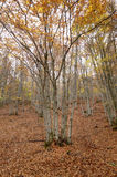 Beech forest in autumn with warm tone. Spain Royalty Free Stock Photography