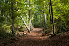 Beech forest in autumn Royalty Free Stock Photos