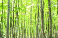 Beech forest Royalty Free Stock Image