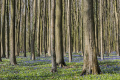 Beech Forest with Bluebell Hallerbos Stock Image