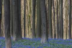 Beech Forest with Bluebell in Hallerbos with Sunlight Royalty Free Stock Photography