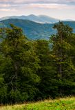 Beech forest of Carpathian mountains in afternoon. Lovely nature scenery in summertime. Svydovets mountain ridge in the distance under the cloudy sky royalty free stock images