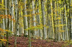 Beech forest Royalty Free Stock Photography