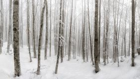 Beech forest covered by snow, undergrowth illuminated by day. ba. Beech forest covered by snow, undergrowth of trees and white branches, illuminated by day Royalty Free Stock Photography