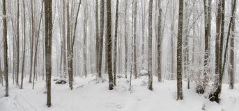 Beech forest covered by snow, undergrowth illuminated by day. ba. Beech forest covered by snow, undergrowth of trees and white branches, illuminated by day Royalty Free Stock Image