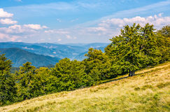 Beech forest down the hillside in high mountains. Gorgeous autumnal scene in fine weather afternoon Royalty Free Stock Images