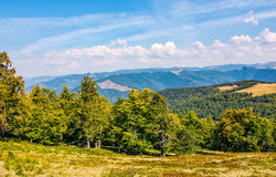 Beech forest down the hillside of mountain ridge. Gorgeous autumnal scene in fine weather afternoon Royalty Free Stock Photography