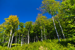 Beech forest in early autumn at Semenic national park Stock Images