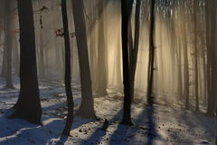 Beech forest on early lights. Beautiful soft lights through the trees in a beech forest