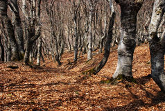 Beech forest. Early spring Stock Images