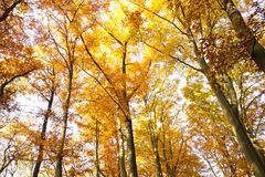 Beech forest in fall royalty free stock photography