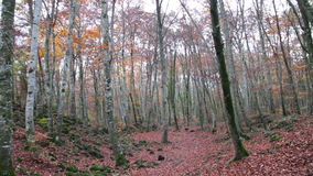 Beech Forest with Falling Leaves in Autumn. Red Mediterranean Beech Field in Fall stock video footage