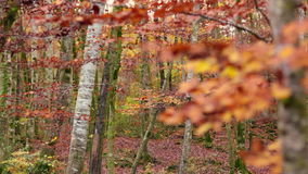 Beech Forest with Falling Leaves in Fall. Red Mediterranean Beech Field in Autumn Rack Focus stock footage