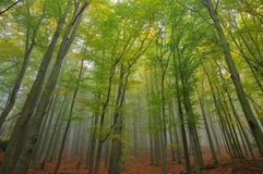 Beech forest in fog Stock Images