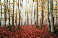Beech forest with fog Royalty Free Stock Photo