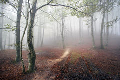 Beech forest with fog Royalty Free Stock Photos