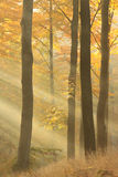 Beech forest in the fog. And streaks of light Royalty Free Stock Photography