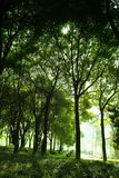 Beech forest with fog and warm Stock Images