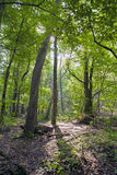 Beech forest, forest green 1 Royalty Free Stock Photo