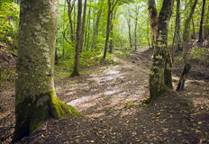 Beech forest, forest green 2 Royalty Free Stock Photography