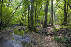 Beech forest, forest green 4. Beech forest, forest green, fairy forest, forest bathed in natural light, forest stream, a river in the forest, life-giving water Stock Photos