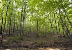 Beech forest, forest green 5 Royalty Free Stock Image