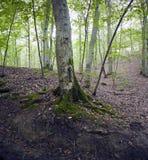 Beech forest, forest green 6 Stock Photos
