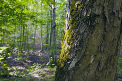 Beech forest, forest green 9 Stock Photography