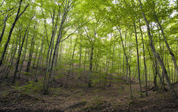 Beech forest, forest green 11 Stock Images