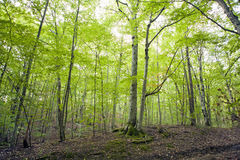 Beech forest, forest green 18 Stock Images