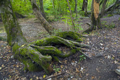 Beech forest, forest green 27 Stock Photography