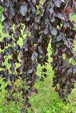 Beech forest, form purple drooping Fagus sylvatica L., f. Purpurea Pendula, branches with leaves.  Royalty Free Stock Photos
