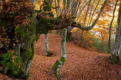 Beech forest of Gavelli, Umbria Royalty Free Stock Photography