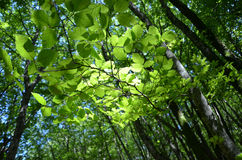 Beech forest. Glare in the green leaves in the beech forest Stock Photo