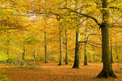 Beech forest in golden foliage Royalty Free Stock Photography