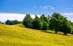 Beech forest on grassy hillside. Lovely scenery of Carpathian landscape in summer. location Svydovets ridge, Ukraine Stock Photos
