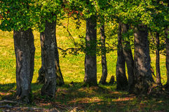Beech forest on a grassy meadow background. On beautiful autumnal day Royalty Free Stock Photos